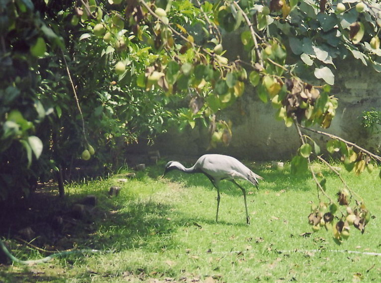 This strange bird is walking around Zahir's walled garden with a few chickens. When I asked him if it was a pet he said no, they keep them for the same reason as the chickens, to eat.
